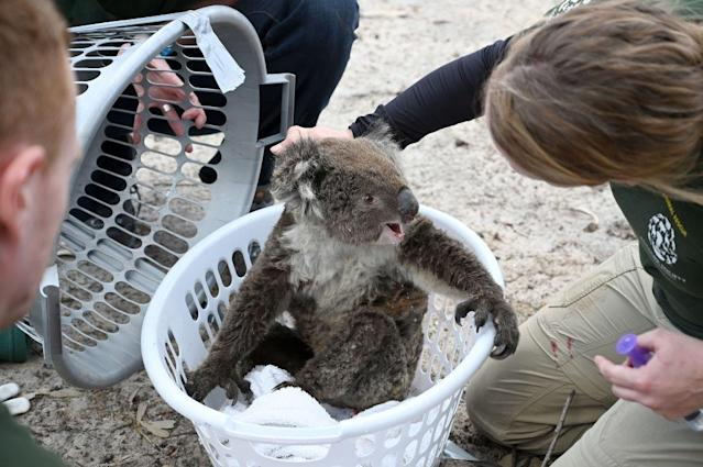 An injured koala being rescued on Kangaroo Island. Source: Getty