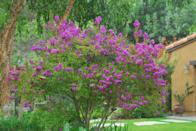 """<p><strong> Zones 6 – 10</strong></p><p><a class=""""link rapid-noclick-resp"""" href=""""https://www.monrovia.com/plant-catalog/plants/1733/zuni-crape-myrtle/"""" rel=""""nofollow noopener"""" target=""""_blank"""" data-ylk=""""slk:SHOP NOW"""">SHOP NOW</a><br><br>""""Zuni is the consummate small tree for city gardens,"""" Karam says. """"Use as an accent or to cover unattractive views."""" The pink flowers bloom in the late summer, but you can admire the multicolored bark and greenery during the growing months. A single trunk can grow up to <strong>12 feet tall and wide </strong>in full sun, and you can plant more together for a bigger canopy. </p><p><a href=""""https://www.goodhousekeeping.com/home/gardening/g26477167/best-indoor-trees/"""" rel=""""nofollow noopener"""" target=""""_blank"""" data-ylk=""""slk:RELATED: The 10 Best Indoor Trees for a Happier Home"""" class=""""link rapid-noclick-resp""""><strong>RELATED: </strong>The 10 Best Indoor Trees for a Happier Home</a></p>"""