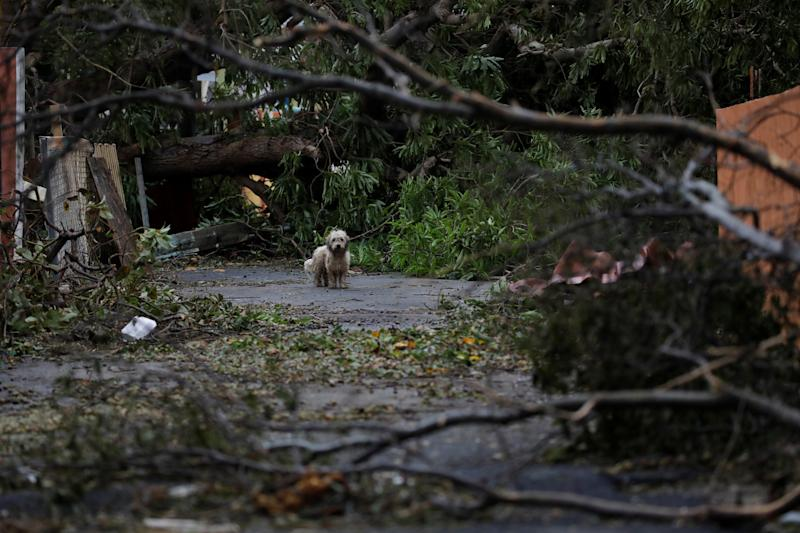 A dog next to fallen trees and damaged houses after the hurricane had passed. (Carlos Garcia Rawlins / Reuters)