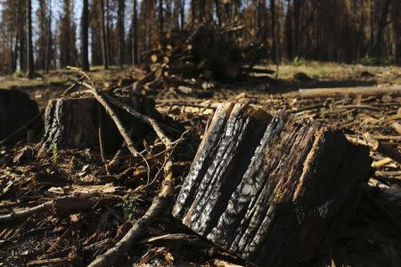 A burnt tree stump is pictured amongst other trees scorched from last year's Rim fire near Groveland, California July 29, 2014. REUTERS/Robert Galbraith