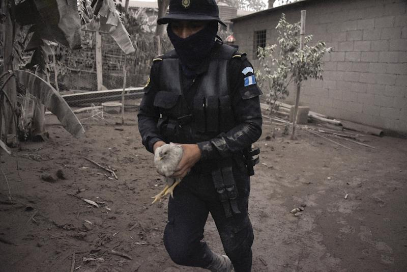 A police officer carries a chicken in the ash-covered village of San Miguel Los Lotes, in Escuintla Department, about 35 km southwest of Guatemala City, on June 4, 2018, a day after the eruption of the Fuego Volcano (AFP Photo/Johan ORDONEZ)