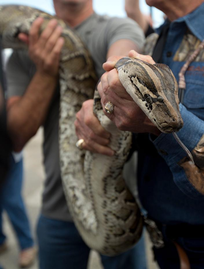 In this Jan. 17, 2013, file photo, a captured 13-foot-long Burmese python is displayed for snake hunters and the media before heading out in airboats for the Python Challenge in the Florida Everglades.
