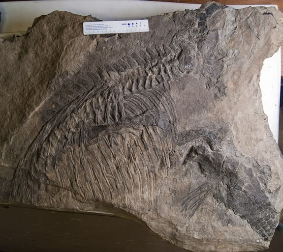 The ichthyosaur <i>Malawania anachronus</i>, fossilized in a slab once used as a stepping stone on an Iraqi mule track.
