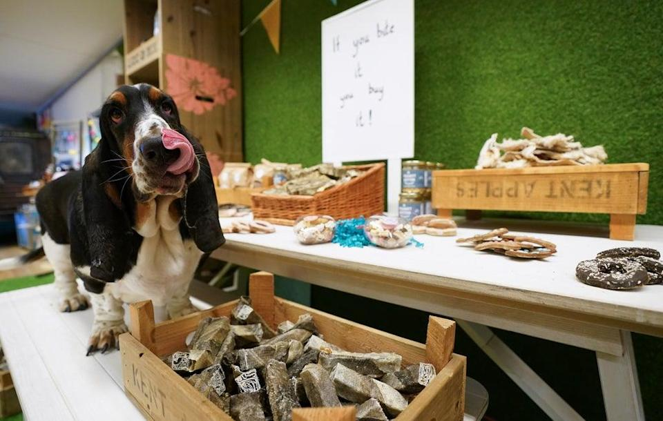 Basset hound Gumbo at the Lick and Mix station (Andrew Matthews/PA) (PA Wire)