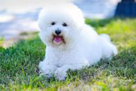 """<p>The <a href=""""https://www.dailypaws.com/dogs-puppies/dog-breeds/bichon-frise"""" rel=""""nofollow noopener"""" target=""""_blank"""" data-ylk=""""slk:Bichon Frise"""" class=""""link rapid-noclick-resp"""">Bichon Frise</a> is playful, curious, and even-tempered. Jackson says they make happy lap dogs and—like cats—they're not huge fans of being in the water. With that being said, it's worth noting that their pristine white coats mean frequent brushing, baths, and trips to the groomer.</p>"""