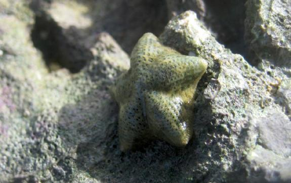 Sea Stars Divide into 2 Species in Evolutionary Flash
