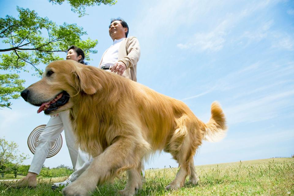 Senior Husband And Wife Who Take A Walk In The Meadow With A Dog
