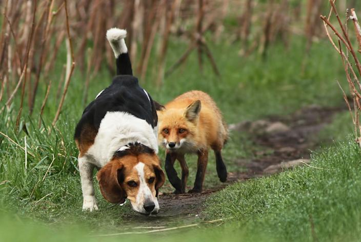 """In an unusual role reversal, a fox was spotted trailing a beagle in a forest near Montreal, Canada. The odd fox behavior was an effort to protect four newborn fox cubs nearby. The photographer noted that the fox outwitted the dog and saved the family. """"It was the first time in my life when I saw foxes so brave, who managed to fight back in front of a hunting dog."""" (Photo: Mircea Costina / Caters News )"""