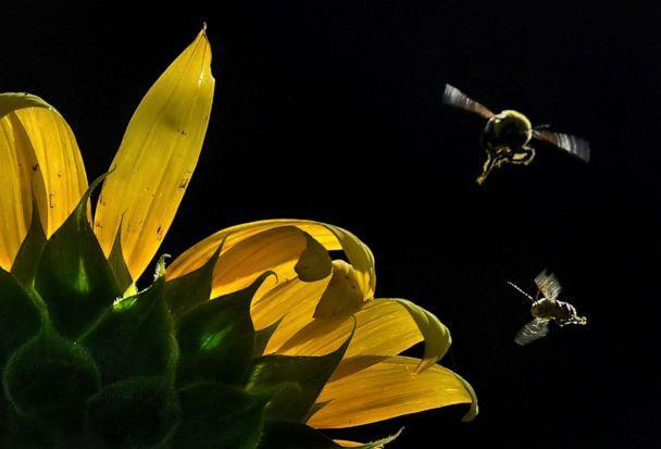 PHOTO: Bees fly around sunflowers at the McKee-Beshers Wildlife Management Area in Poolesville, Md., July 14, 2019.  (The Washington Post/Michael S. Williamson/Washington Post via Getty Images, FILE)