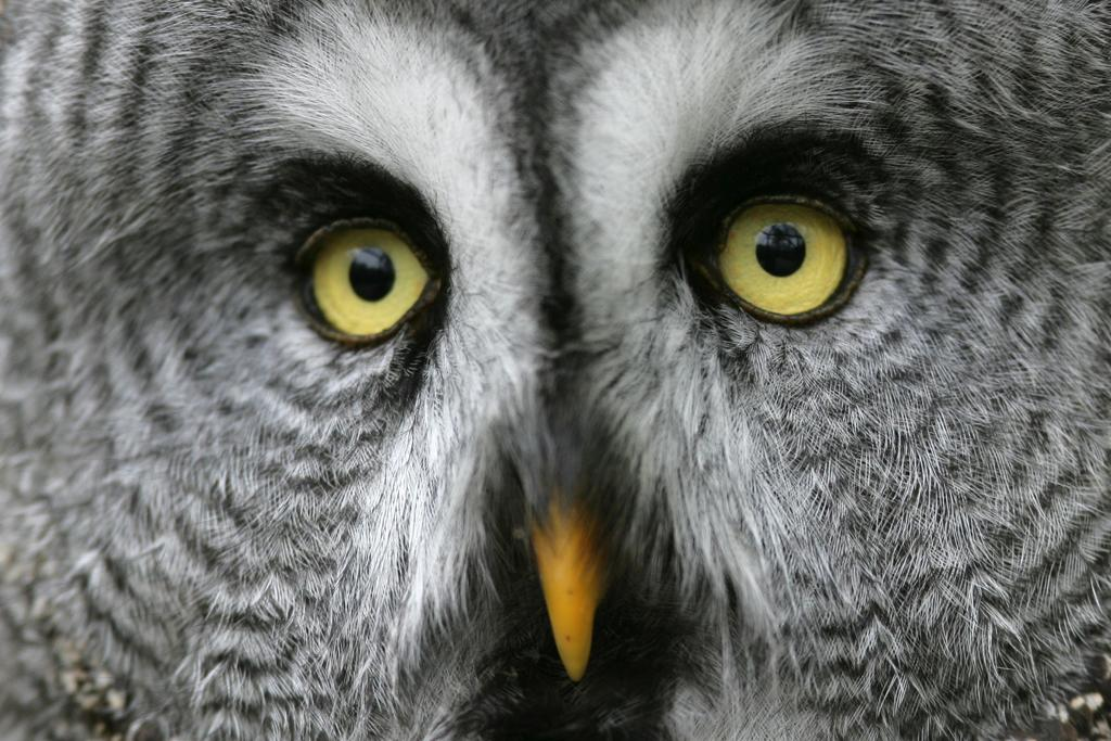 <b>Great Gray Owl</b> (Strix nebulosa)<br>Boreal Forest, Canada<br><br>A great gray owl's hearing is so strong, it can pinpoint the location of a mouse beneath two feet of snow or within an underground burrow.