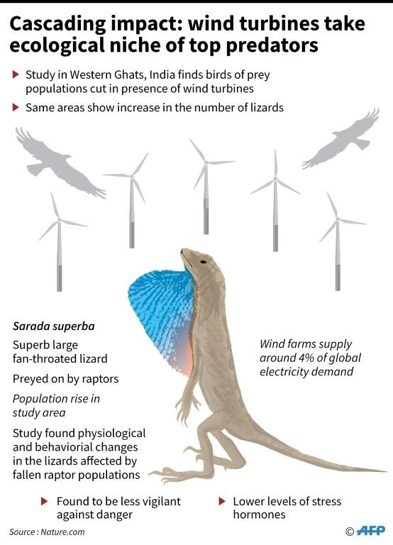 Graphic on how a lizard species has been found to thrive in an area where wind farms have caused the deaths of raptors that prey on them