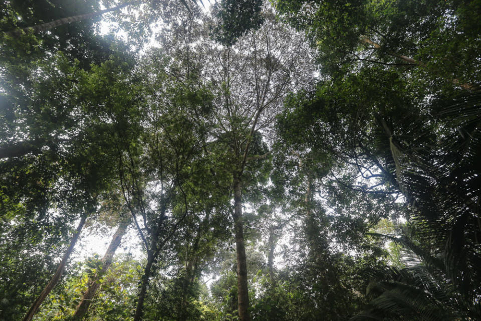 Trees in the Kuala Langat North forest reserve at Kampung Orang Asli Busut in Banting April 22, 2021. — Picture by Yusof Mat Isa