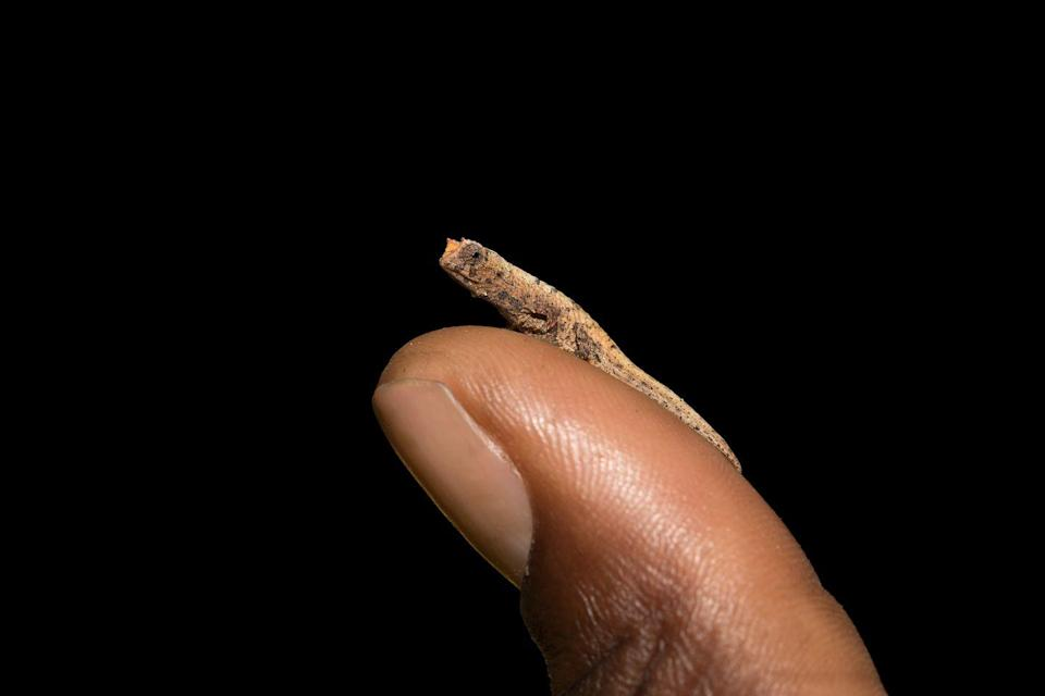 """<p>This is not Photoshopped! These are the world's tiniest chameleon's and they were only discovered in 2012. According to Live Science, the <a href=""""https://www.livescience.com/18481-world-tiniest-chameleon-discovered.html"""" rel=""""nofollow noopener"""" target=""""_blank"""" data-ylk=""""slk:juvenile's can fit on the head of a matchstick"""" class=""""link rapid-noclick-resp"""">juvenile's can fit on the head of a matchstick</a>. The adults are just over a half inch long.</p>"""