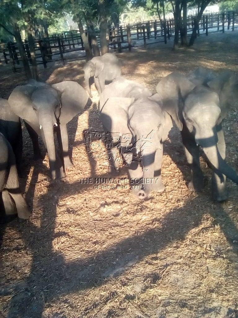 More than 30 baby elephants from Zimbabwe were held in quarantine pending distribution to amusement parks and other facilities within China (Humane Society International)