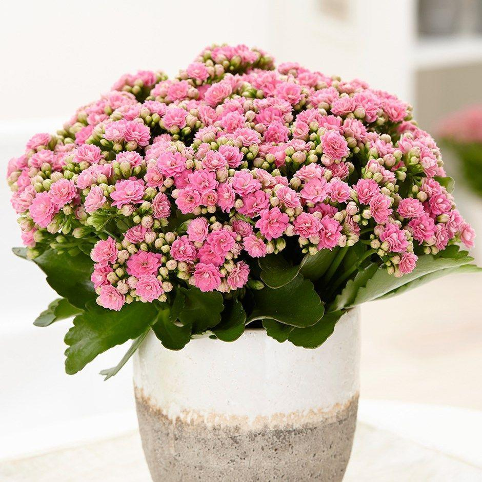 "<h3><a href=""https://www.waitrosegarden.com/plants/_/kalanchoe-blossfeldiana-don-nando-pbr/classid.2000027705/?gclsrc=aw.ds&&gclid=EAIaIQobChMIxdqdm5Kv4wIVUjPTCh0xqgOrEAQYASABEgKR7PD_BwE"" rel=""nofollow noopener"" target=""_blank"" data-ylk=""slk:Crocus Potted Kalanchoe"" class=""link rapid-noclick-resp"">Crocus Potted Kalanchoe</a></h3><p>The Kalanchoes' colourful flowers will add a little brightness to any cubical, but don't let its buds fool you. This particular plant is actually a member of the succulent family, which means it doesn't require much water.</p><p><strong>Size:</strong> 25cm (including pot)</p><br><br><strong>Crocus</strong> Kalanchoe Blossfeldiana, $8.99, available at <a href=""https://www.waitrosegarden.com/plants/_/kalanchoe-blossfeldiana-don-nando-pbr/classid.2000027705/?gclsrc=aw.ds&&gclid=EAIaIQobChMIxdqdm5Kv4wIVUjPTCh0xqgOrEAQYASABEgKR7PD_BwE"" rel=""nofollow noopener"" target=""_blank"" data-ylk=""slk:Waitrose"" class=""link rapid-noclick-resp"">Waitrose</a>"