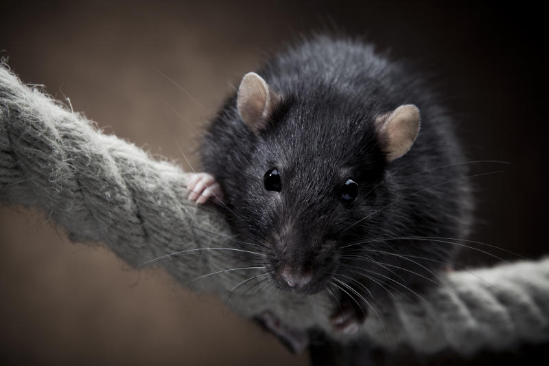 Paraplegic teenager attacked by rats in her bed
