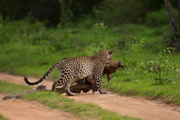 Dramatic Hunting Leopard Caught on Camera