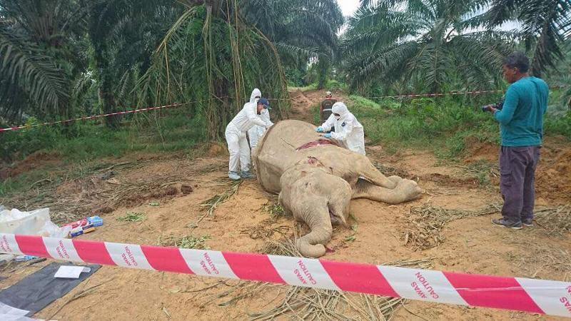 Dead elephant maybe due to conflict with humans, said Sabah wildlife authorities