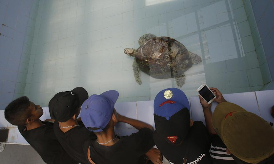 """In this Friday, March 3, 2017 photo, young visitors watch the female green green turtle nicknamed """"Bank"""" swim in a pool at Sea Turtle Conservation Center n Chonburi Province, Thailand. Veterinarians operated Monday, March 6, 2017, on """"Bank,"""" removing less than 1,000 coins from the endangered animal. Her indigestible diet was a result of many tourists seeking good fortune tossing coins into her pool over many years in the eastern town of Sri Racha. (AP Photo/Sakchai Lalit)"""