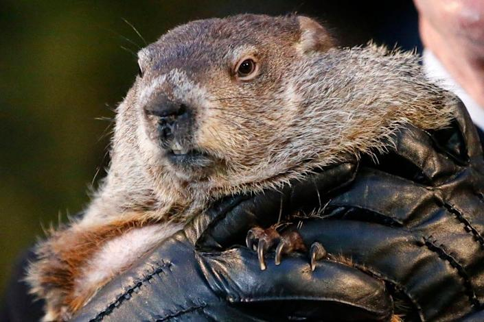 Punxsutawney Phil, the weather prognosticating groundhog, is held by the gloved hands of handler Ron Ploucha during the 129th celebration of Groundhog Day on Gobbler's Knob in Punxsutawney, Pa., Feb. 2, 2015.