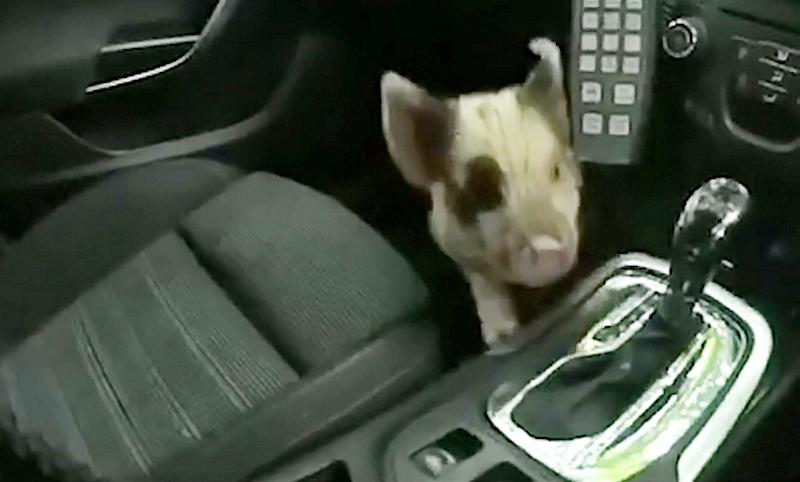 Police saved a piglet's bacon after rescuing him from a busy road in Coventry yesterday morning (4 June). See SWNS story SWMDpiglet. Cars were swerving to miss the plucky piglet in the Canley area prompting calls to the police. Local officers sent to the rescue, 'spotted' the little piggy at the junction of Gibbet Hill Road and Kenilworth Road, and managed to bundle him into the footwell of their police car. PCs Gareth Williams and Simon Seaton named him Oliver, after Oliver Twist, the famous run away orphan! Oliver was given 'hogs and kisses' to calm him down after his frightful ordeal, and was later taken to the RSPCA in Allesley to be looked after and rehomed with an experienced owner.