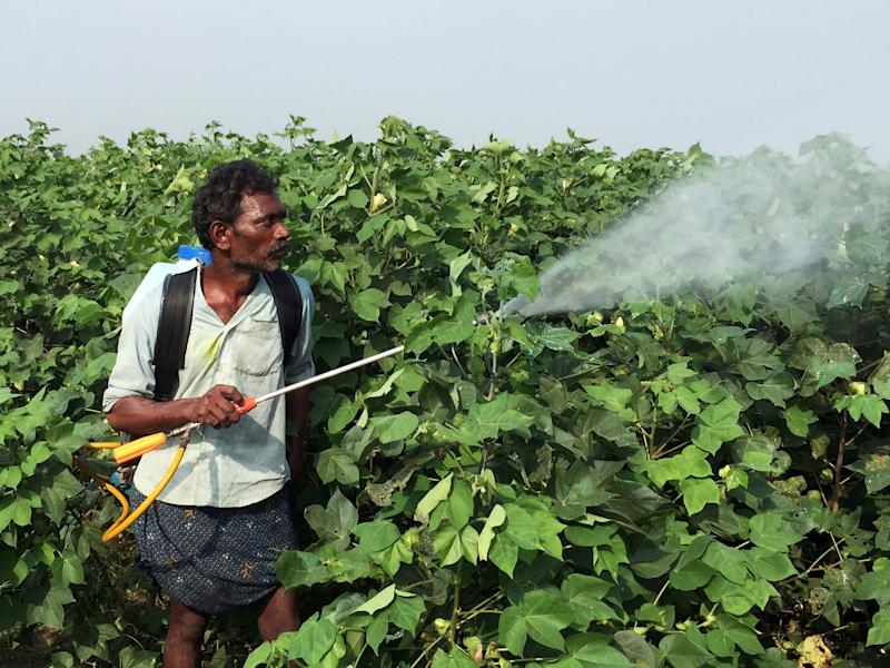 FILE PHOTO: A labourer sprays pesticides on genetically modified cotton crops in Guntur, Andhra Pradesh, India, October 17, 2017. REUTERS/Mayank Bhardwaj/File Photo