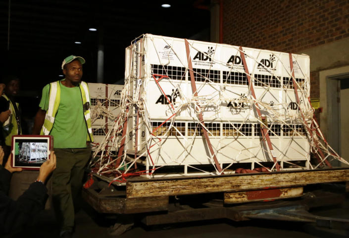 <p>Airport cargo handlers attend to cages of former circus lions on their arrival at O.R. Tambo International Airport in Johannesburg, South Africa, April 30, 2016. <i>(Themba Hadebe/AP)</i></p>