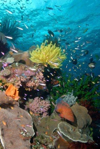 This file photo, released by the Pew Environment Group in 2011, shows a coral reef in the Coral Sea off Australia's northeast coast. Australia on Thursday announced plans to create the world's largest network of marine parks to protect ocean life, with limits placed on fishing and oil and gas exploration off the coast