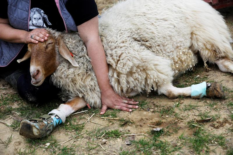 """Meital Ben Ari, a co-founder of """"Freedom Farm"""" pats Gary, a sheep with leg braces, at the farm which serves as a refuge for mostly disabled animals in Moshav Olesh, Israel. (Photo: Nir Elias/Reuters)"""