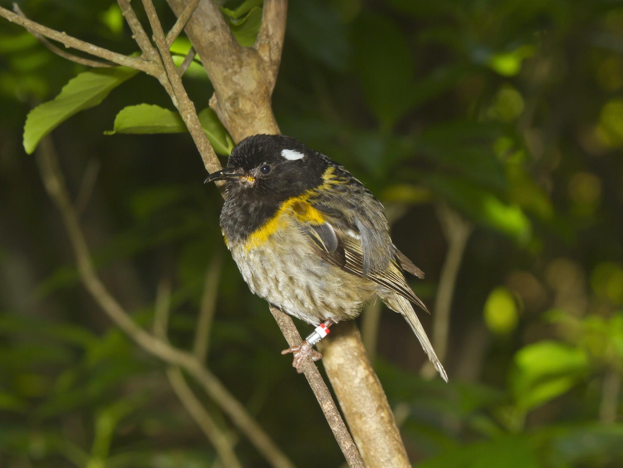 New Zealand animal with 'unusually large testicles' could win bird of the year competition