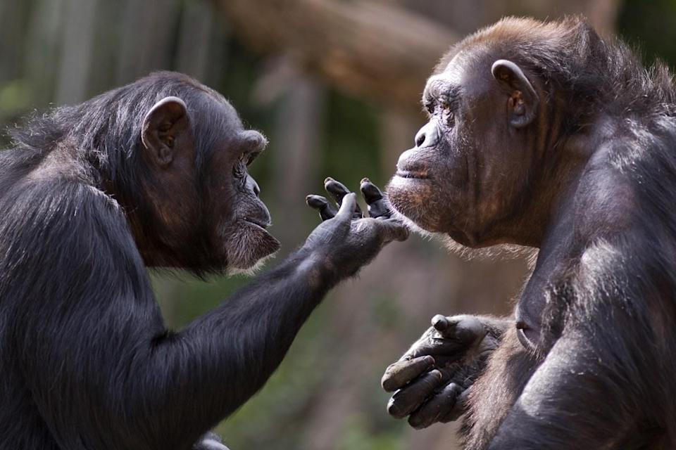"""It turns out we're just as hairy as chimps. According to a 2011 paper published in the <em>International Journal of Trichology</em>, we have the <a href=""""https://www.ncbi.nlm.nih.gov/pmc/articles/PMC3250022/"""" rel=""""nofollow noopener"""" target=""""_blank"""" data-ylk=""""slk:same number of hairs as chimps"""" class=""""link rapid-noclick-resp"""">same number of hairs as chimps</a>, even if the hair itself is much finer, making it harder to see and creating a lower volume of hair overall. And for more amazing insight into the natural world, check out these <a href=""""https://bestlifeonline.com/animal-facts/?utm_source=yahoo-news&utm_medium=feed&utm_campaign=yahoo-feed"""" rel=""""nofollow noopener"""" target=""""_blank"""" data-ylk=""""slk:75 Animal Facts That Will Change the Way You View the Animal Kingdom"""" class=""""link rapid-noclick-resp"""">75 Animal Facts That Will Change the Way You View the Animal Kingdom</a>."""