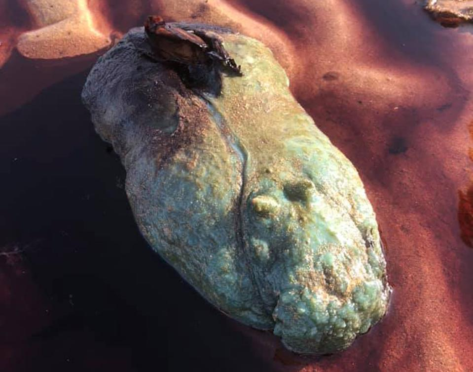 A sea hare washed up on a beach in Scarborough, Queensland.