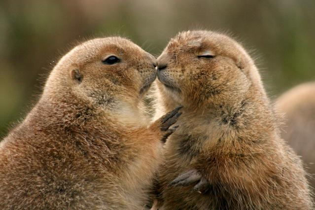 <p>Two prairie dogs kissing at the Rotterdam Zoo in Holland. (Photo: Jan Van Den Beukel/Caters News) </p>