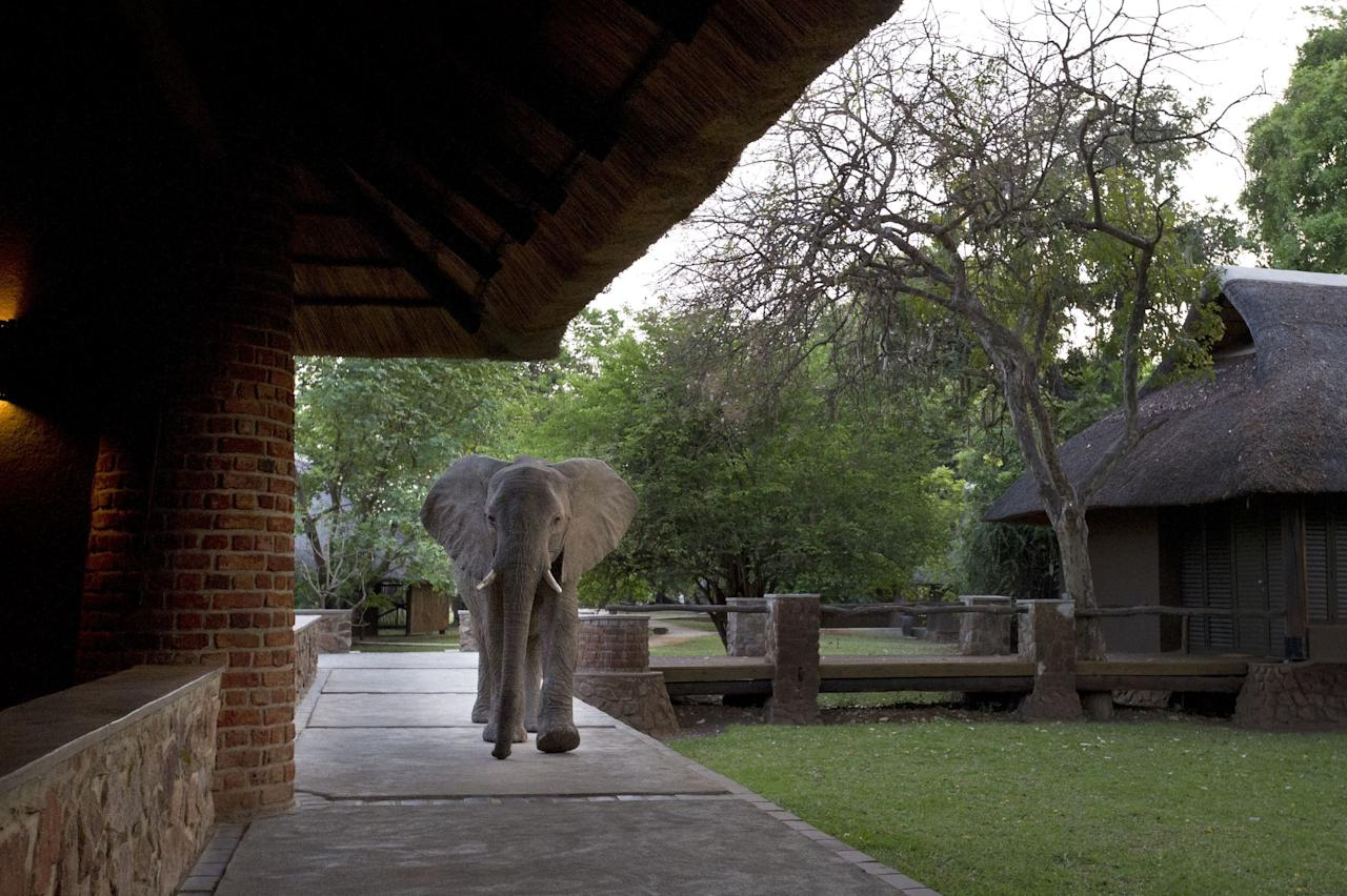 """Have your camera ready because elephants are also known to <a rel=""""nofollow"""" href=""""https://www.africansafaris.com/mfuwe-lodge/"""">drop by this lodge</a>. At times, they will even walk through the lobby of the hotel—now that's a sight to see."""