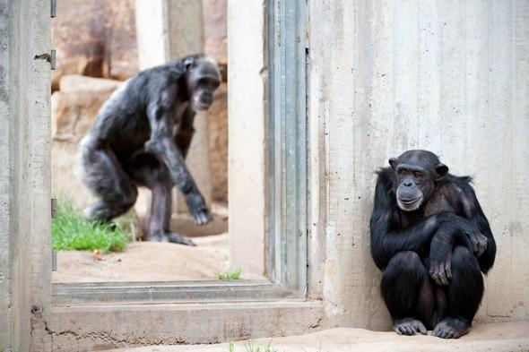 Five clever chimps escape from zoo enclosure, 2,500 visitors evacuated
