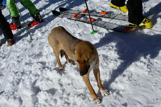SOCHI, RUSSIA - FEBRUARY 04: A stray dog loiters around the ski lift line at the base of the alpine ski venue on the Rosa Khutor ski mountain ahead of the Sochi 2014 Winter Olympics on February 4, 2014 in Sochi, Russia. (Photo by Doug Pensinger/Getty Images)