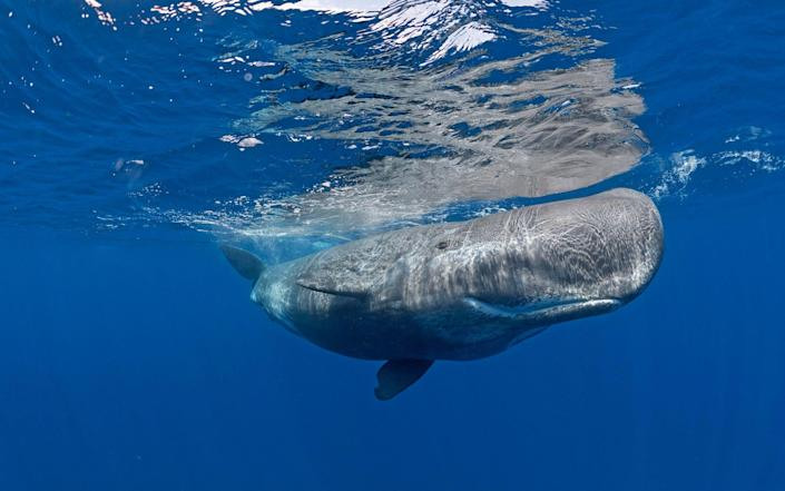 Sperm whale off Pico, the Azores - SeaTops/imageBROKER RF