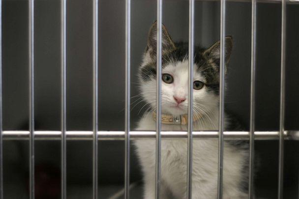 PHOTO: In this undated file photo, a kitten waits to be adopted from the animal shelter. (Dan Brandenburg/Getty Images, FILE)