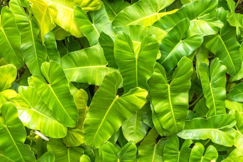 Philodendron 'Burle Marx'