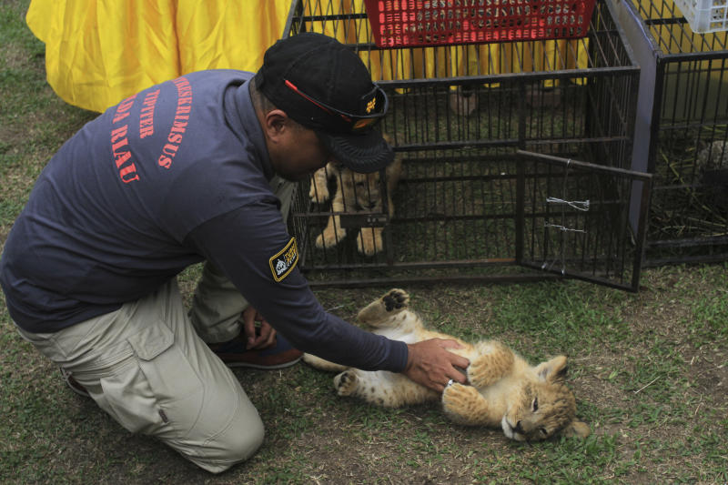 A police officer plays with a lion cub prior to the start of a press conference in Kampar, Riau, Indonesia, Sunday, Dec. 15, 2019. Indonesian police said Sunday that they have arrested two men suspected being part of a ring that poaches and trades in endangered animals and seized from them lion and leopard cubs and dozens of turtle, police said Sunday. (AP Photo/Rifka Majjid)