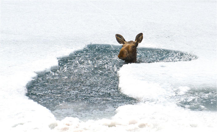 """A few friends and I were driving the Alaska Highway when we saw this moose head sticking out of the ice on Muncho Lake, so we grabbed some rope and with help from people on the highway we were able to pull the moose out. Good thing I had my Nikon to capture the moment. (Photo and caption Courtesy Chris Gale / National Geographic Your Shot) <br> <br> <a href=""""http://ngm.nationalgeographic.com/your-shot/weekly-wrapper"""" rel=""""nofollow noopener"""" target=""""_blank"""" data-ylk=""""slk:Click here"""" class=""""link rapid-noclick-resp"""">Click here</a> for more photos from National Geographic Your Shot."""