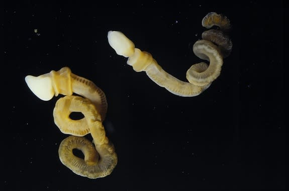 The modern acorn worm <i>Harrimania planktophilus</i>. The acorn worms are about 1.2 inches (32 millimeters) long when uncoiled.