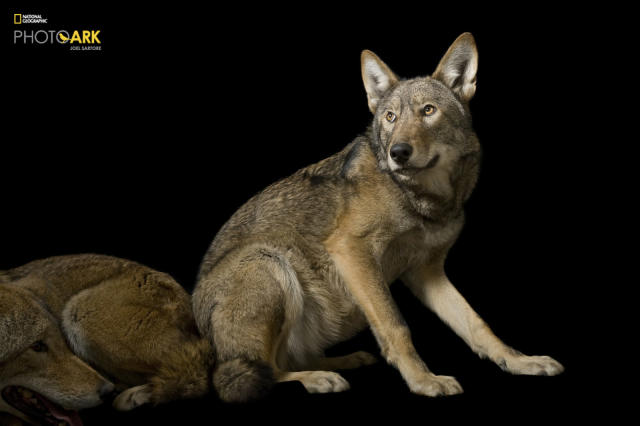<p><strong>Critically endangered, fewer than 150 left in the wild.</strong> <br> Photographed at the Great Plains Zoo in Sioux Falls, South<br> Dakota. (© Photo by Joel Sartore/National Geographic Photo Ark)<br><br><em> Support the Photo Ark and projects working to help save species</em><br><em> at PhotoArk.org and join the conversation on social media with</em><br><em> #SaveTogether.</em> </p>