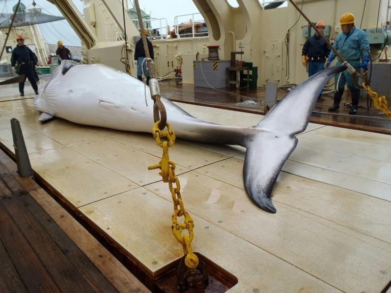 Japan is a signatory to the International Whaling Commission moratorium on hunting, but exploits a loophole that allows whales to be killed for scientific research