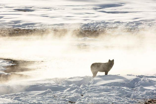 A wolf from the Wapiti Lake pack is silhouetted against a hot spring in Yellowstone National Park in 2018. Conservation and wildlife advocacy groups are asking the U.S. Fish and Wildlife Service to put gray wolves back on the list as threatened or endangered. (Photo: Jacob W. Frank/National Park Service via The Associated Press)