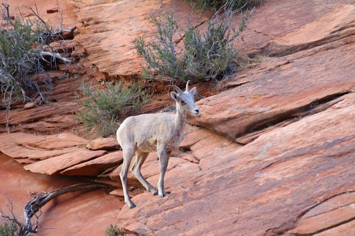 Zion National Park is home to 68 species of mammals. As you hike in the park, you might encounter mule deer, bighorn sheep, foxes and rock squirrels. You might see wildlife scampering across slick rock, roaming the canyon floor or along the Virgin River.
