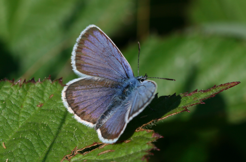 Species like the Silver-studded Blue are on the decline (SWNS)
