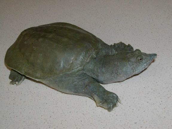 The Chinese soft-shelled turtle (<em>Pelodiscus sinensis</em>) excretes urea, the waste product of urine, from its mouth, scientists report Oct. 11, 2012, in the Journal of Experimental Biology.