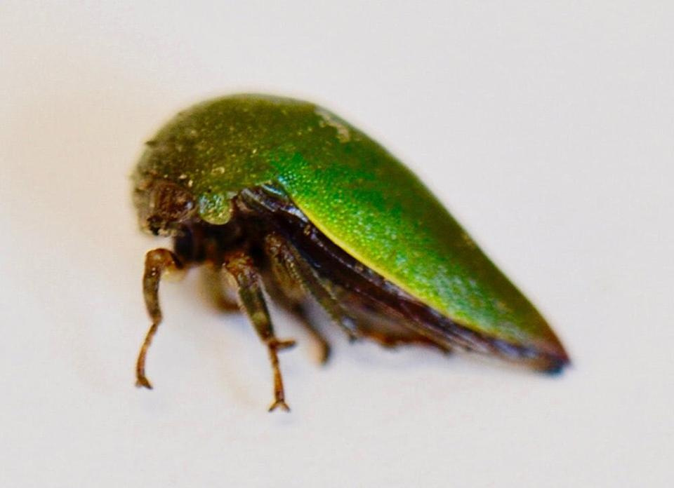Close up of new treehopper species with green shell