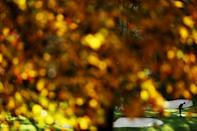 Augusta in Autumn: Tiger Woods of putts on the 12th green in the first round of the Masters, postponed from its usual April time slot by the coronavirus pandemic